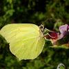 Brimstone Butterfly / Obični zućak ♂
