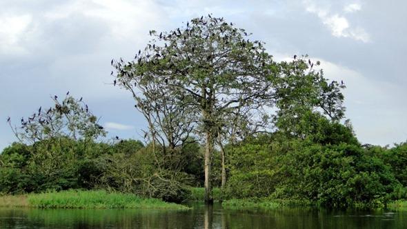 Aves na Reserva Mamirauá