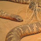 Collett's Snake