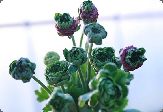 IMG_7110 super green ranunculus floret flowers