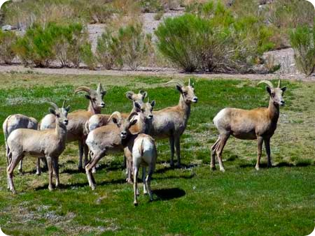 long-horn-sheep-2