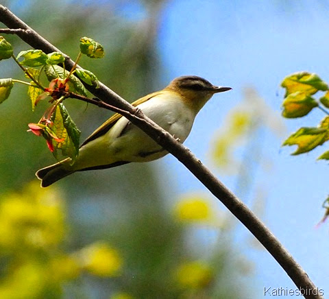 1. Red-eyed vireo-kab