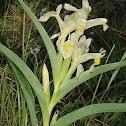 Caucasian Iris