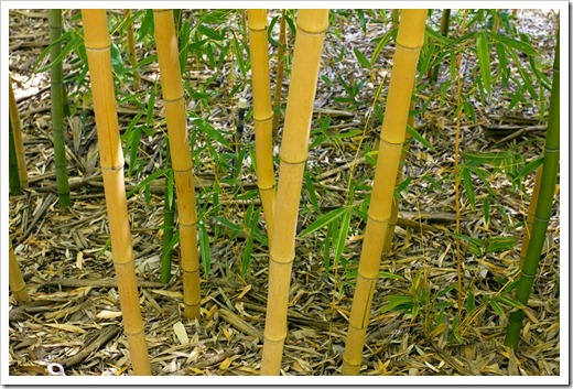 120427_FoothillBG_Phyllostachys-bambusoides-Allgold_09