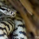 Aspic Viper