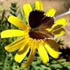 Mariposa de los geranios sobre Euryops pectinatus o margarita amarilla.