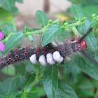 Brown Tussock Moth