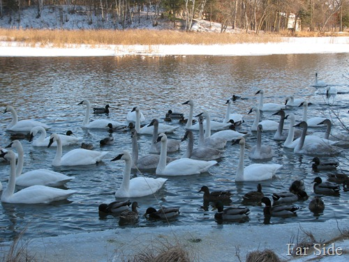 Swans and Ducks on the river Jan 20