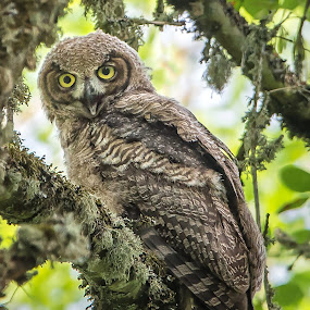 Fledgling by Gary Davenport - Animals Birds ( owlet, gho, owl, perch, fledgling )