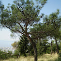 Turkish pine