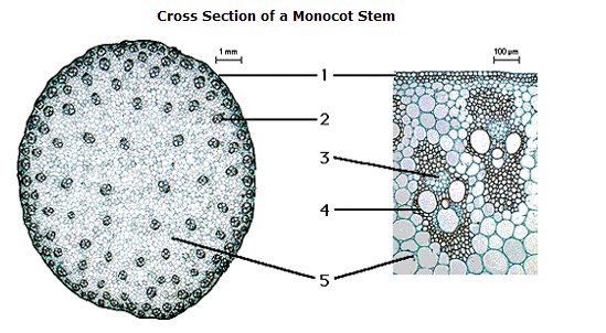 Monocot stem labelled