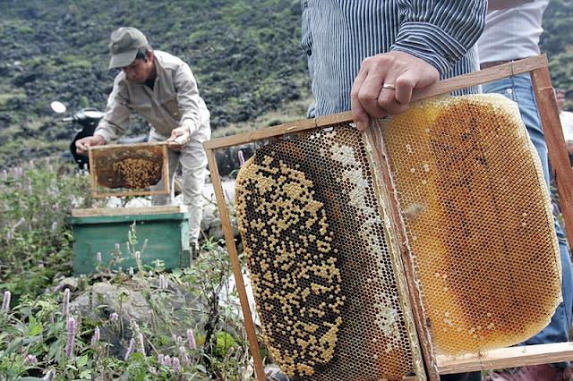 """Rất nhiều thắc mắc mật ong nuôi liệu có tốt không? Câu trả lời là """" mật ong nuôi không những tốt mà còn rất tốt"""" nếu tuân thủ quy trình nuôi ong """"sạch""""."""