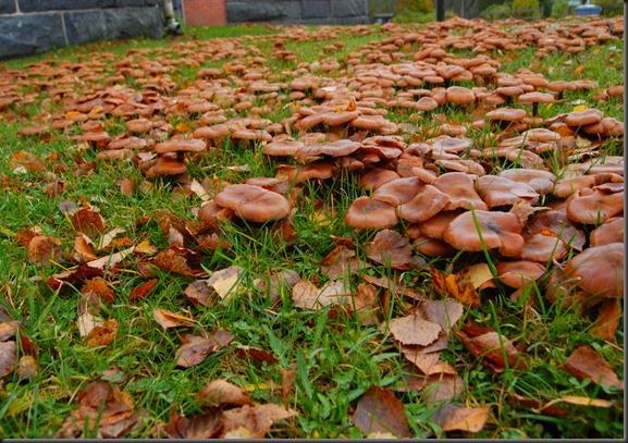 Sienet Nurmikolla