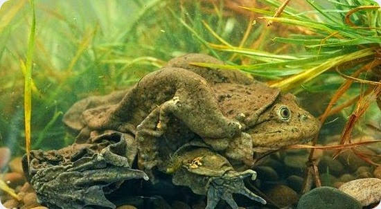 ARKive image GES019128 - Lake Titicaca frog