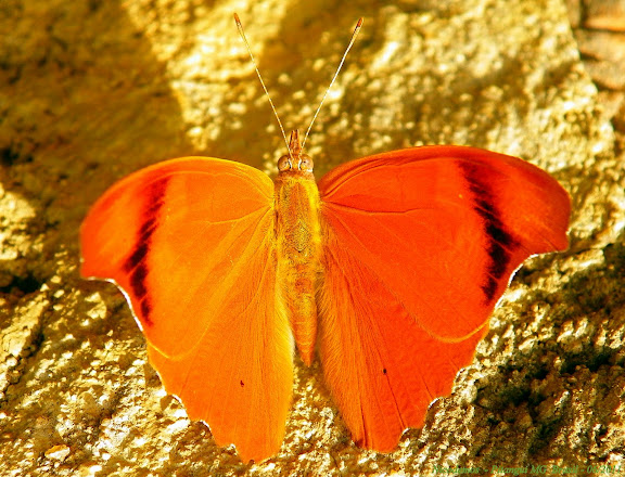 Temenis laothoe meridionalis EBERT, 1965. Pitangui (Minas Gerais, Brésil), 12 juin 2011. Photo : Nicodemos Rosa