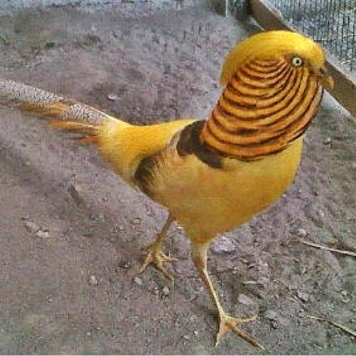 jual indukan ayam hias yellow pheasant