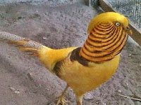 Jual Yellow Pheasant