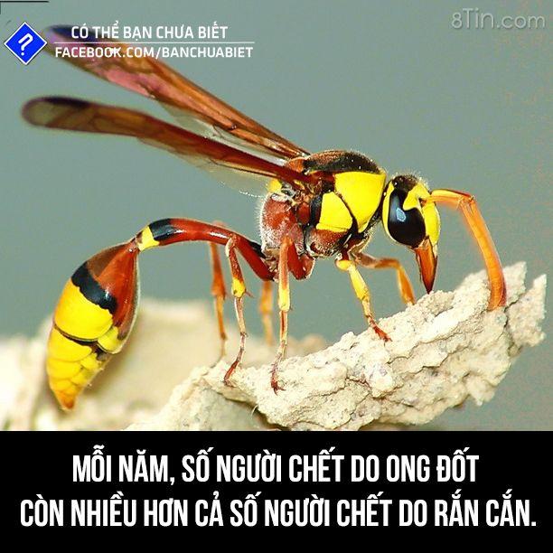Mỗi năm số người chết do ong đốt còn nhiều hơn cả