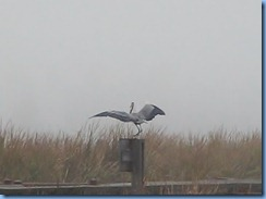 6534b Texas, South Padre Island - Birding and Nature Center - old section of boardwalk - Great Blue Heron in flight