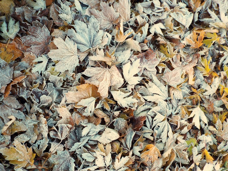 blanket of frosty leaves