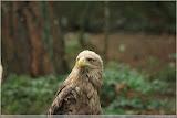 Adler im Wisentreservat bei Miedzydroje