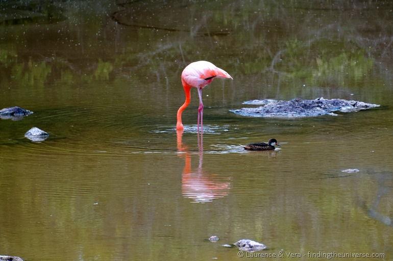 Flamingos in the Galapagos