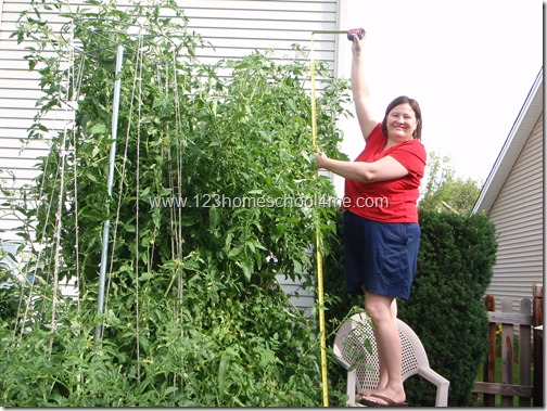 9 Feet Tall Tomato Plants