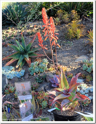 131004_RBG_Fall_Sale_Agave-elgonica_01