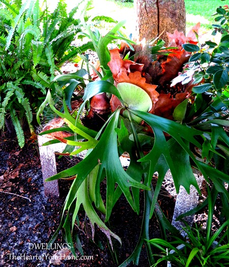 staghorn-fern