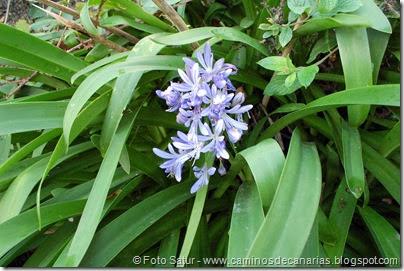 7173 Los Tiles-Firgas(Agapanto azul)