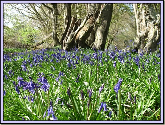 Bluebells at Forsham - 4/4/12