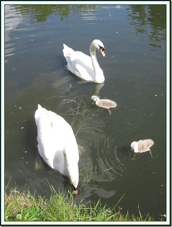 Swans and their young on the Bridgewater Canal in Timperley - 19 June 2011