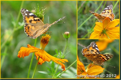 0924 painted lady collage