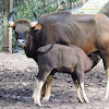 The gaur (Indian bison)