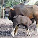 The gaur (Indian bison)