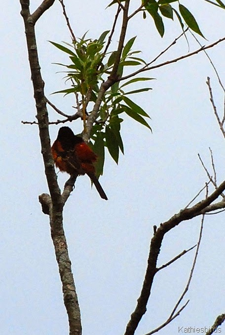 4. orchard oriole back-kab
