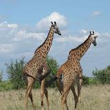 girafa-790609.jpg