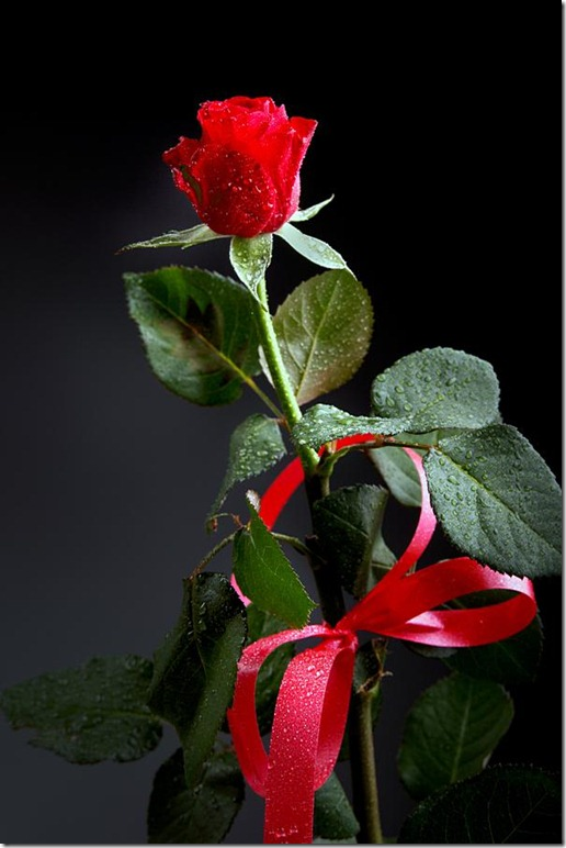botao-rosa-laço-imagens-de-rosas-flores-pictures-flowers-roses