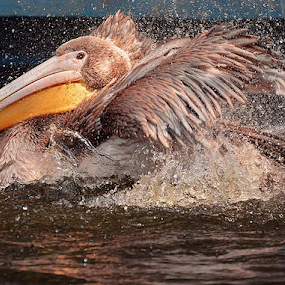 Great pelican 2 by Ion Alexandra - Animals Birds ( pelican bathing )