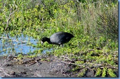 6057 Texas, South Padre Island - Birding and Nature Center - American Coot
