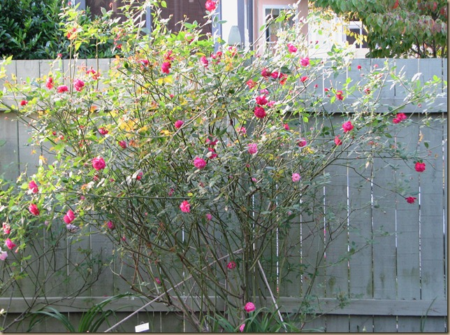 If only sweat were irrigation   : Bad advise for the rose gardener