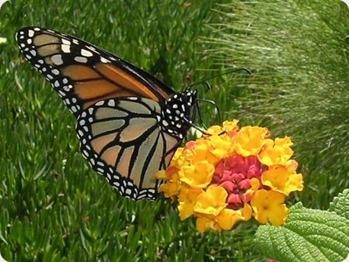 mariposa monarca6