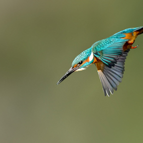 Kingfisher diving toward its prey by Roberto Melotti - Animals Birds ( river kingfisher, roberto melotti, eurasian kingfisher, martin pescatore europeo, common kingfisher, bird, flying, martin pescatore comune, alcedo atthis, oasi di torrile, d7100, nikon, italy,  )