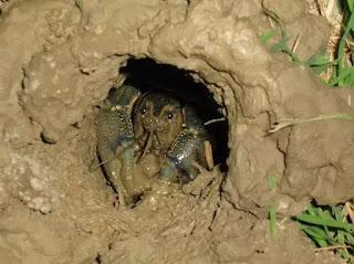 Tôm càng đỏ có thể đào hang sâu đến 2 m, đe dọa các công trình thủy lợi, thủy sản, nông nghiệp.