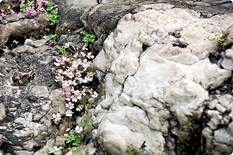 Flowers-amongst-the-rocks-(1)