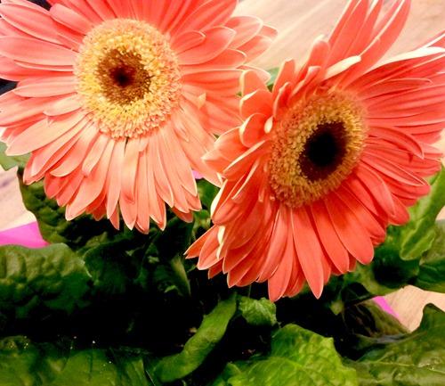 gerbera daisies
