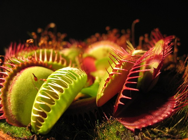 Two_Venus_Flytraps_Wallpaper__yvt2