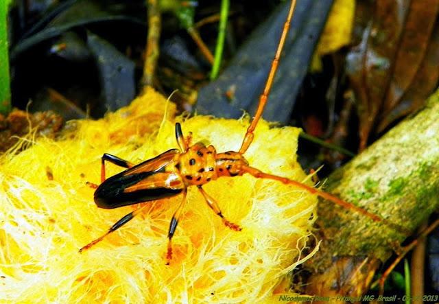 Cerambycidae : Chydarteres dimidiatus (FABRICIUS, 1787). Pitangui (MG, Brésil), 1er décembre 2013. Photo : Nicodemos Rosa