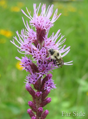 Liatris and Bokeh