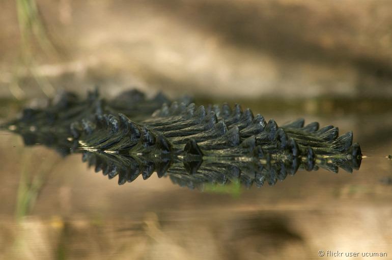 alligator by flickr user ucuman